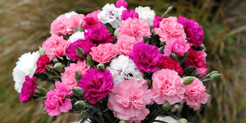 آموزش آبیاری گل میخک راهنمای آبیاری گل میخک