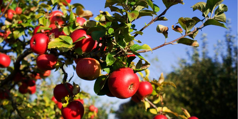 آبیاری درخت سیب