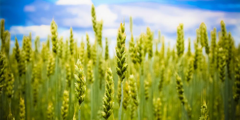 افزایش راندمان آبیاری مزارع