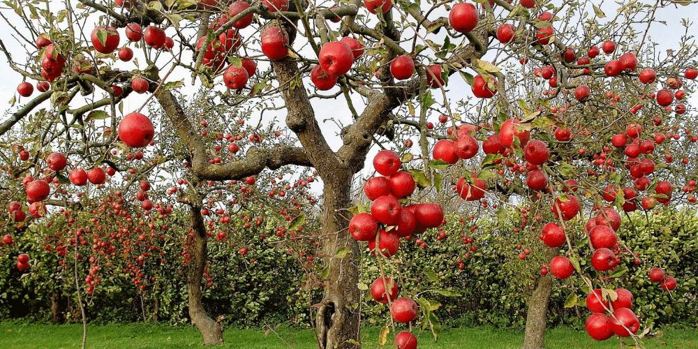 درخت سیب آبیاری درخت سیب