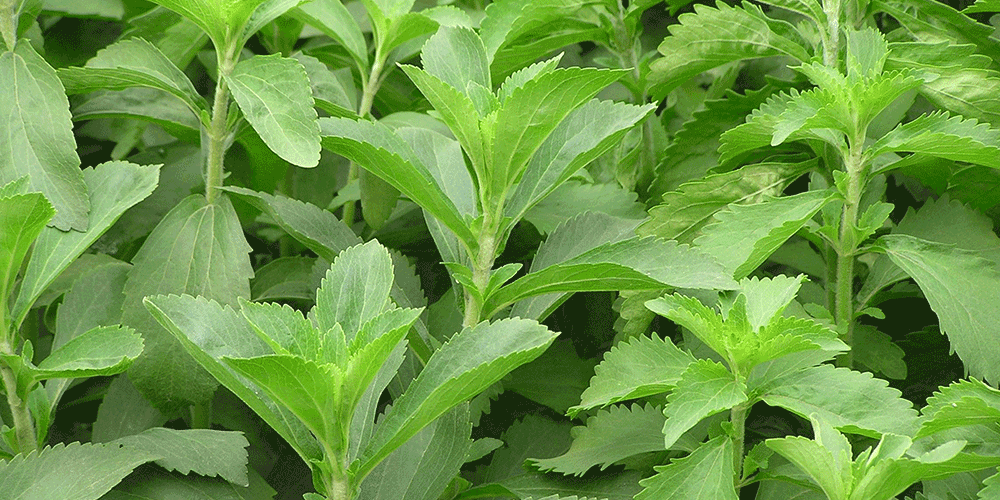 خواص گیاه استویا آبیاری استویا