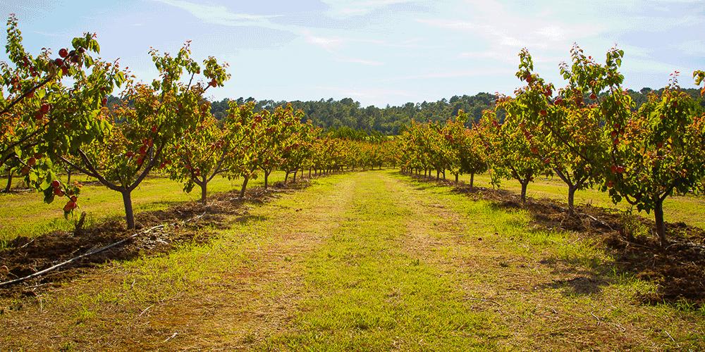 آموزش آبیاری زردآلو راهنمای آبیاری درخت زردآلو