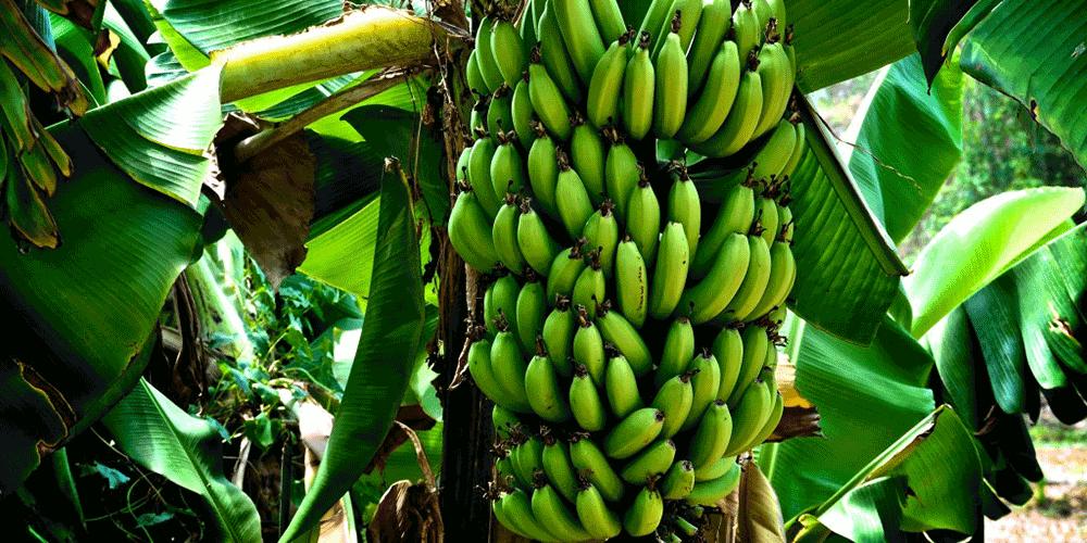 گیاه موز آموزش آبیاری درخت موز