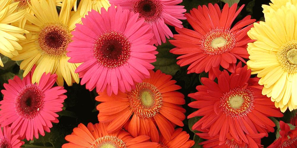 آموزش آبیاری گل ژربرا