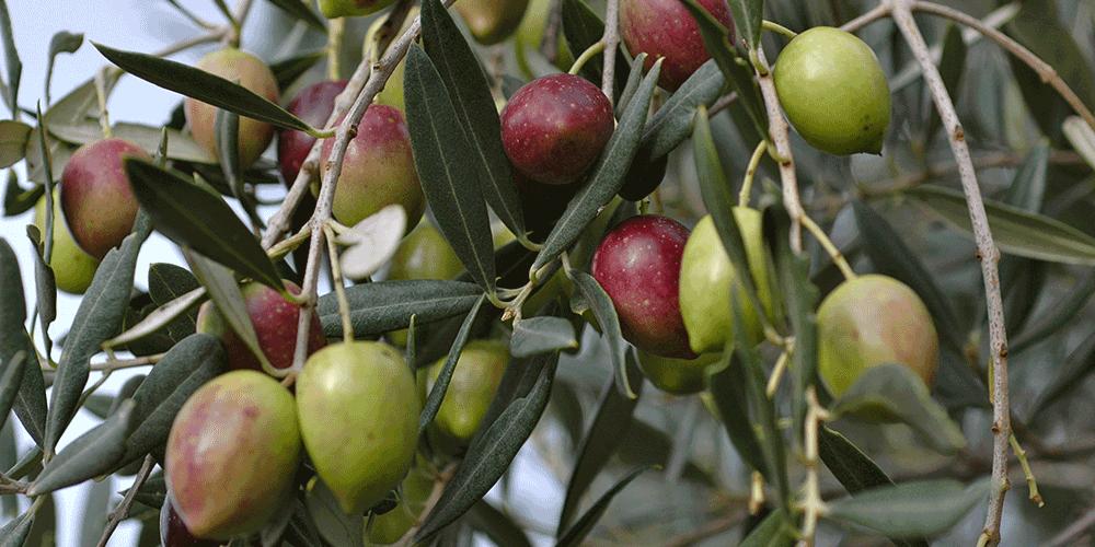 آموزش روش آبیاری درخت زیتون
