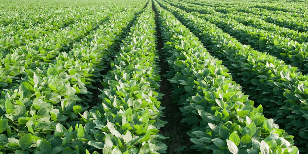 روش های آبیاری جهت تکثیر گیاه ارزشمند سویا