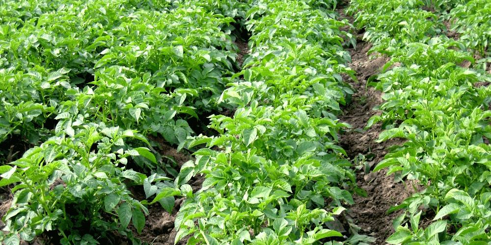 چگونگی انتخاب مزرعه و تراکم کاشت مناسب در پرورش سیب زمینی