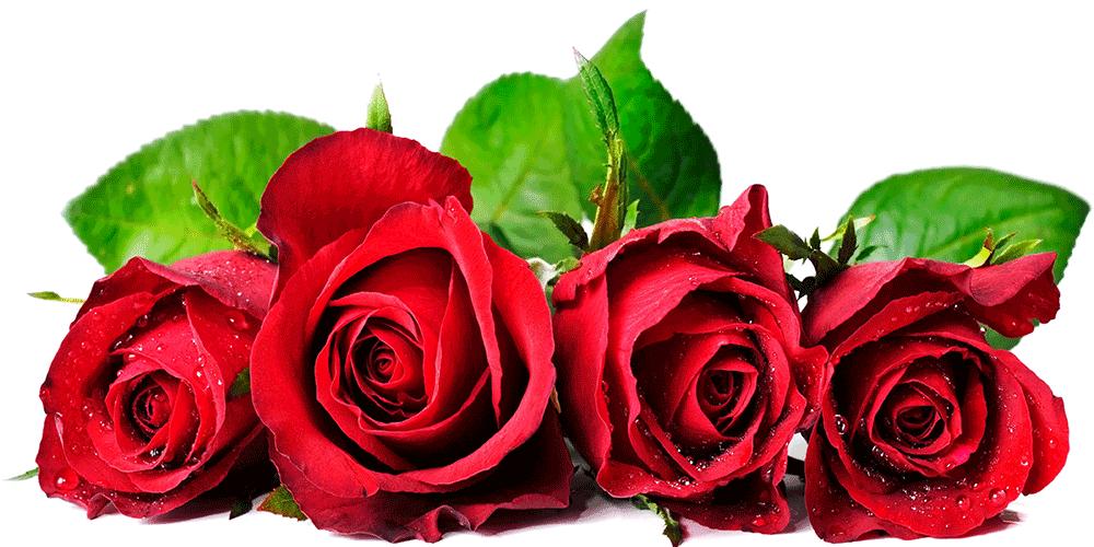 ۱۰ نکته در آبیاری گل رز در گلخانه