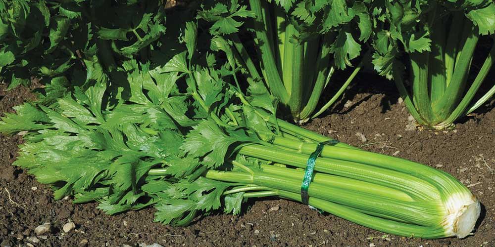 کرفس کشت کرفس کاشت گیاه کرفس پرورش گیاه کرفس