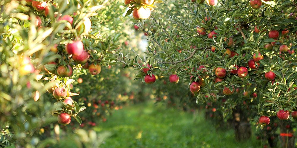 هرس درخت سیب پاکوتاه هرس جامی هرس قیفی