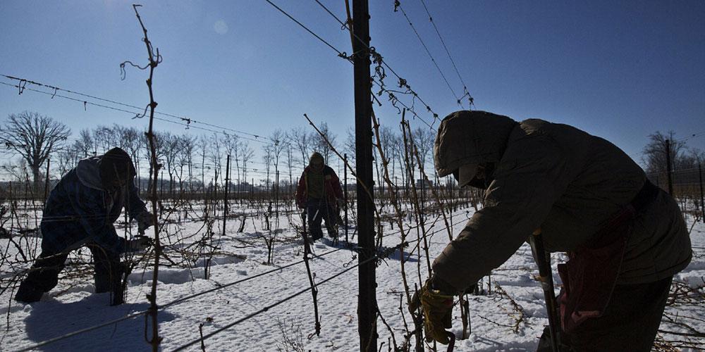 چگونه درخت انگور را هرس کنیم؟