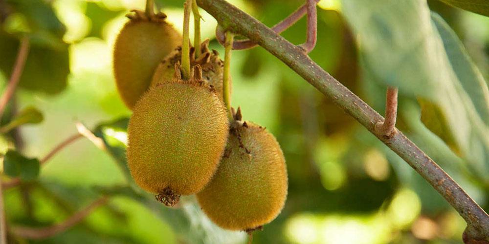 هرس، تربیت و آبیاری درختان کیوی چگونه است؟