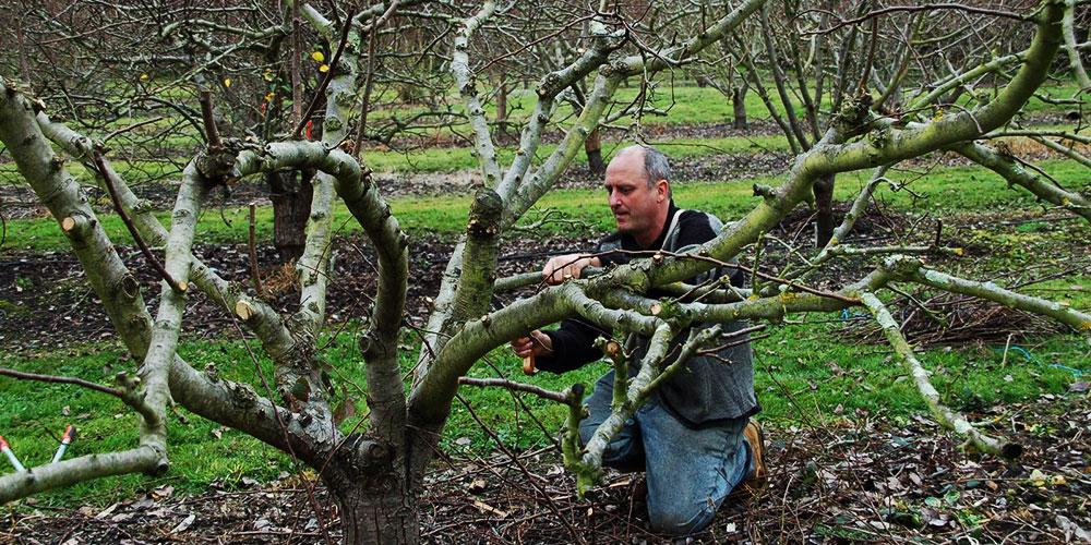 هرس درختان گلابی چگونه صورت می گیرد؟