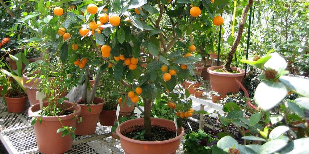 پرتقال زینتی خاک مناسب