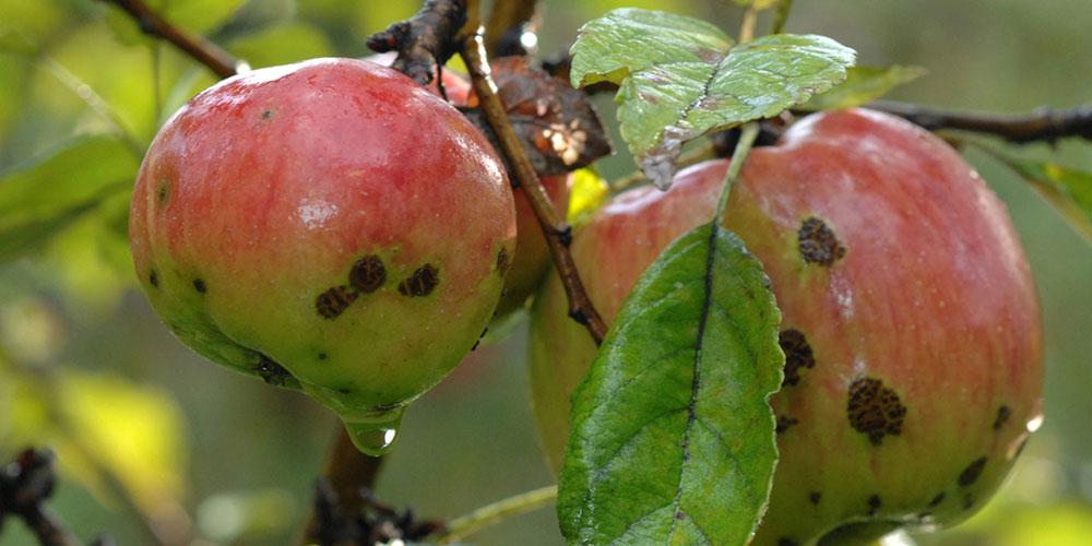 آشنایی با آفات درخت سیب و راه های کنترل آن