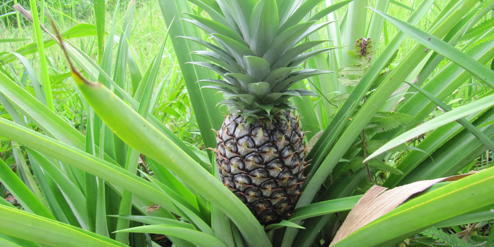 آناناس ترئینی