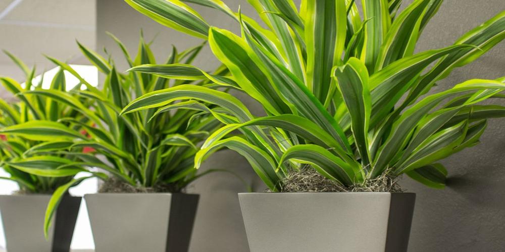 گیاه آپارتمانی «دراسنا» چگونه گیاهی است؟