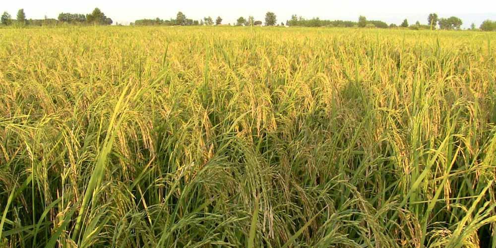 میزان مصرف کود در کشت دوم و راتون برنج - پیشنهادات دکتر محمدیان محقق بخش خاکشناسی موسسه تحقیقات برنج کشور