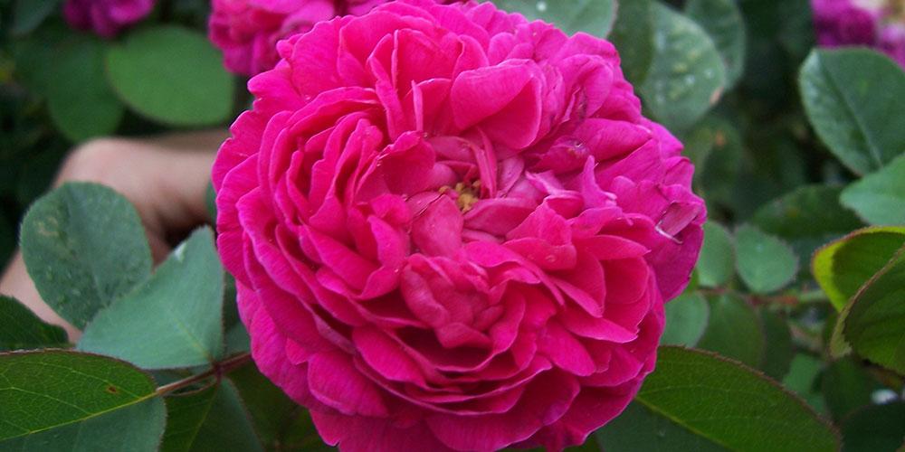 از کاشت تا برداشت گل محمدی