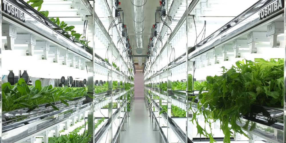 تکنولوژی های جدید کشاورزی -کشت کاهوی بدون خاک در شرکت توشیبای ژاپن