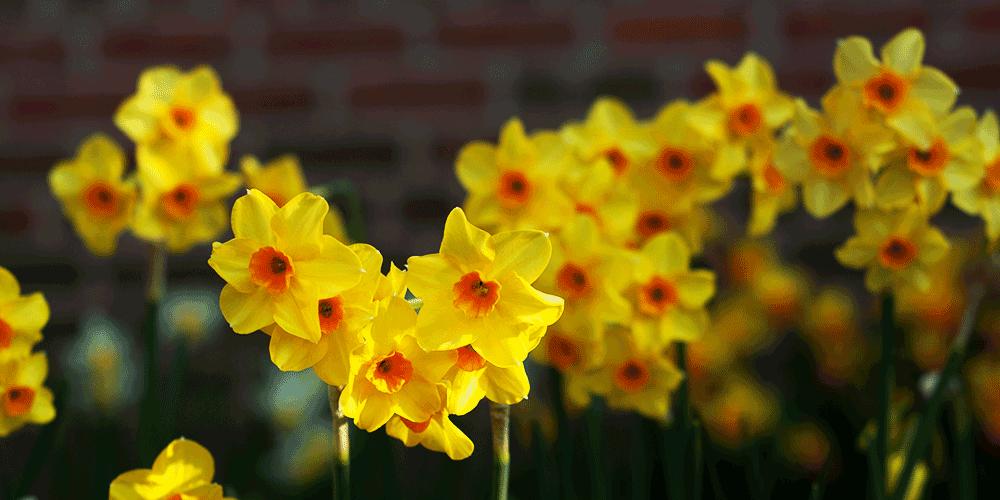 پرورش، ازدیاد و تکثیر گل نرگس چگونه صورت می گیرد؟