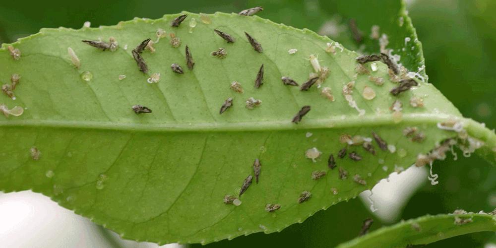 تکنولوژی های جدید کشاورزی- حذف مدیریت شده آفات و حشرات موذی