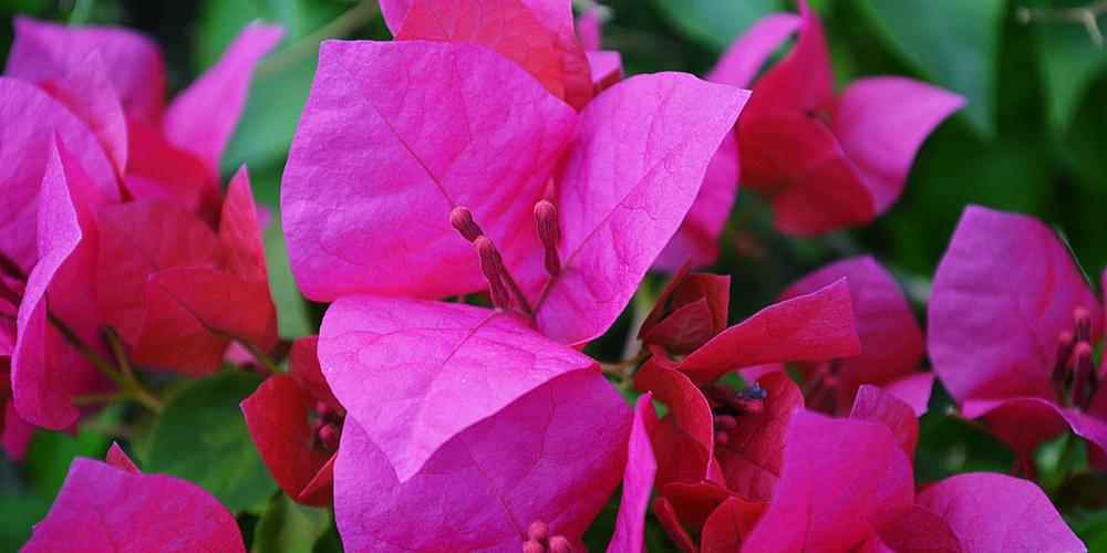 گل کاغذی و شرایط پرورش و مراقبت از آن