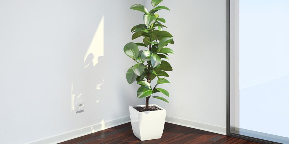 گیاه آپارتمانی فیکوس الاستیکا