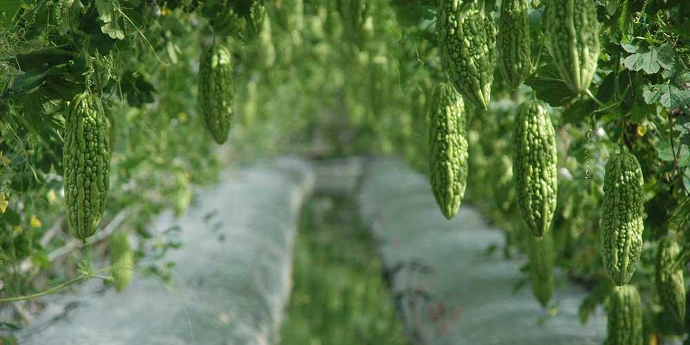 گیاه درمانی کارلا