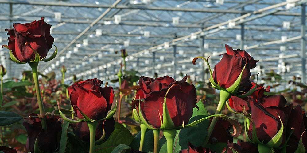 گلخانه گل رز و روش احداث آن