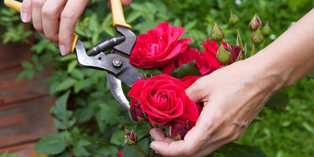 احداث گلخانه گل رز