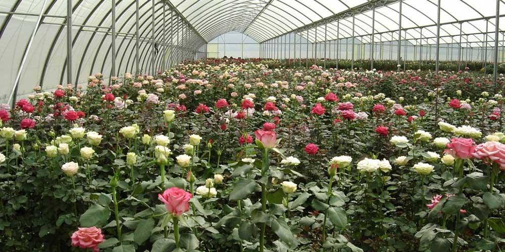 آشنایی با آفات گل رز در گلخانه