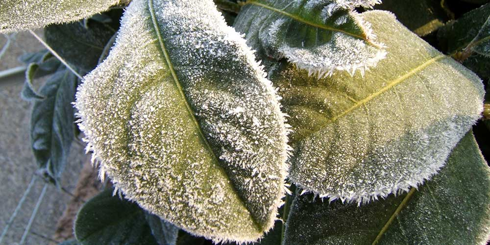 راه های مقابله با سرما زدگی در باغات