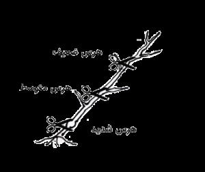 هرس هرس درخت هرس سر شاخه سر شاخه زنی