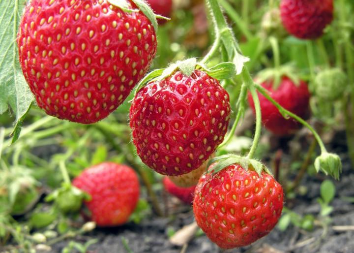 توت فرنگی کشت توت فرنگی مراقبت از توت فرنگی توت فرنگی ارگانیک