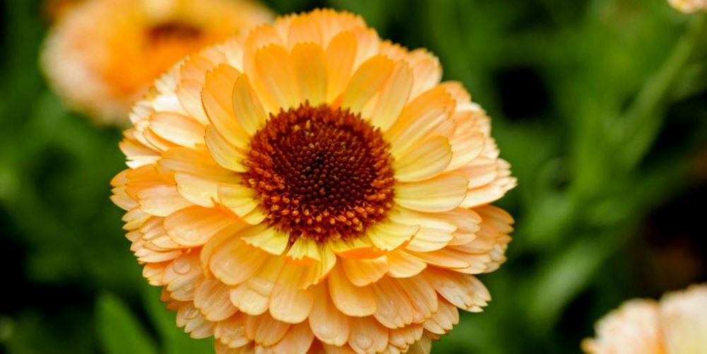 گل همیشه بهار پرورش گل های زیبا پرورش گل همیشه بهار