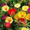 بذر گل ناز آفتابی بذر گل قیمت بذر گل ناز آفتابی