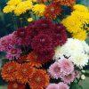 بذر گل داوودی بذر داوودی بذر مناسب داوودی بذر ارزان داوودی قیمت بذر گل داوودی
