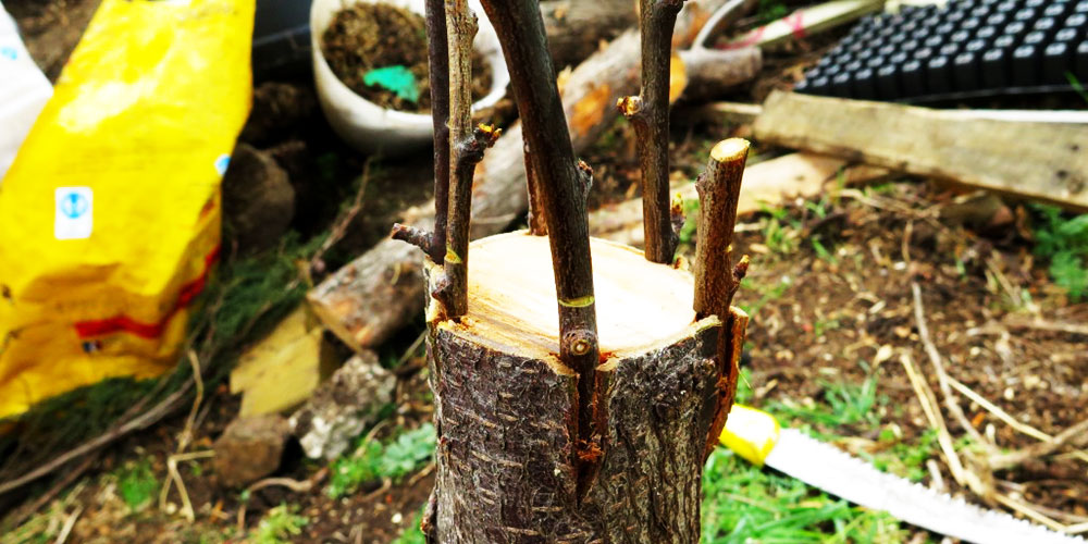پیوند پوست bark grafting