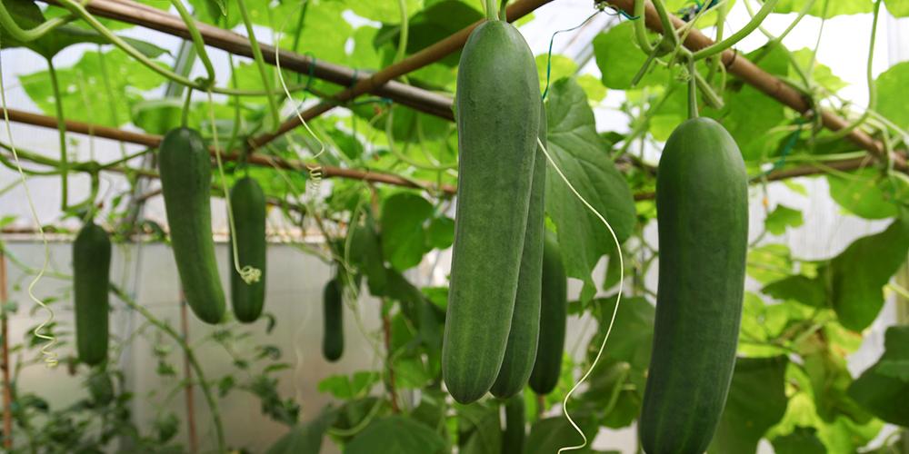 آموزش کاشت خیار از بذر