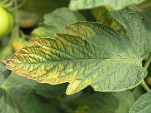 علامت کمبود پتاسیم در گیاه گوجه فرنگی