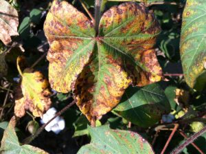 علامت کمبود پتاسیم در گیاه پنبه