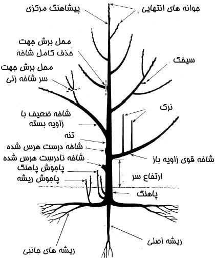 بخش های مختلف یک درخت که در هرس کردن مهم هستند