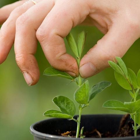 جوانه برداری در گیاهان