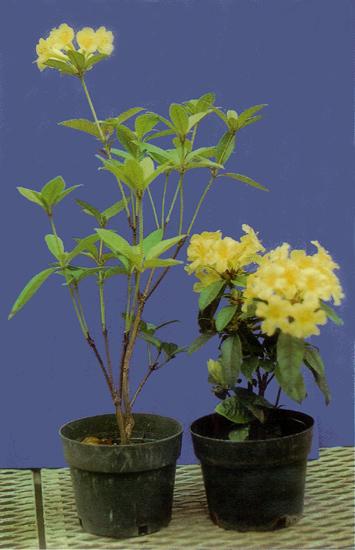 مقایسه دو گیاه یکی جوانه برداری شده و دیگری جوانه بردای نشده