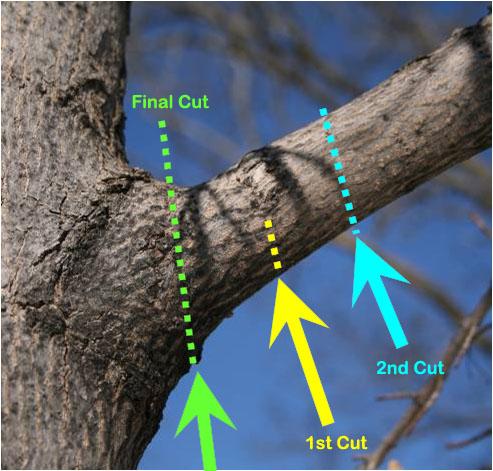 نحوه صحیح برش شاخه های بلند