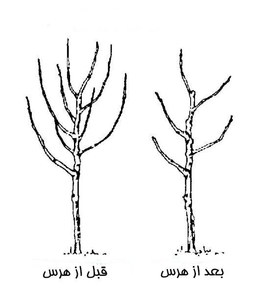 هرس شاخه های معمولی نابارده