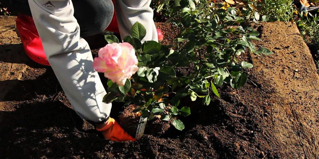 راهنمای کشت پرورش و تکثیر گل رز