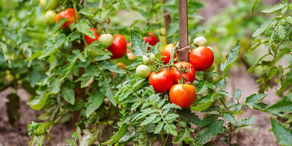 راهنمای کاربردی کشت گوجه فرنگی