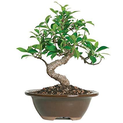 درخت بن سای بوسیله هرس ریشه